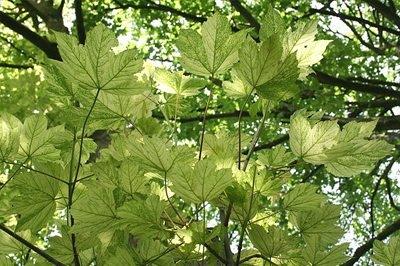 Acer Pseudoplatanus F Variegatum Leopoldii Www